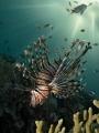 Lionfish at Sunset time