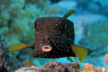 Cute Cube    Boxfish  Ostracion cubicus Young Adult