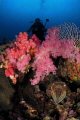 A diver peaking over beautiful soft coral without knowing that an cuttle fish hiding under the coral.