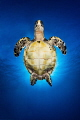 Turtle Angel  A Hawksbill Turtle is backlit by the sun as it heads to surface for a breath.