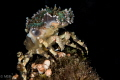 Decorator crab.