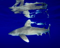 An oceanic white tip shark with pilot fish and vivid surface reflections at Cat Island in the Bahamas