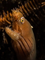 Chestnut Moray Eel