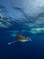 Oceanic White Tip Shark at Elphinstone