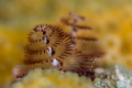Christmas tree worm close up with a narrow depth of field.