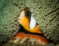 This little clownfish was very protective of his eggs laid under the sea anemone!