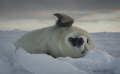 Harp seal pup on the ice