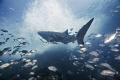 Whaleshark and Entourage of Jacks - Sailrock, Thailand