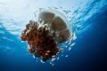Rhizostome Jellyfish and a colony of inhabitants
