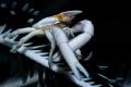 crinoid springcrab