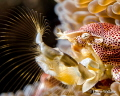 Profile of porcelain crab filtering