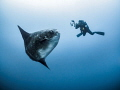 Lights, Camera, Action. Southern Ocean Sunfish - Mola ramsayi. Gilli Mimpang, Bali, Indonisia
