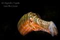Trumpet Fish Black, flamingo Reef Bonaire