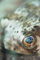 Close Encounter with a Balloonfish
