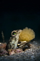 Dusky Jawfish Egg Shuffle