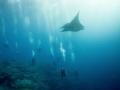 Manta comes to look at the divers - Socorro