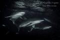 Sharks in Black, Darwin Island Galápagos