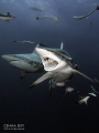 Blacktip - Aliwal Shoal - South Africa
