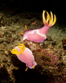 A pair of nudibranch at Lembeh Strait