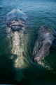 Grey whale and calf come to say hello