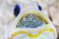 Yellowhead Jawfish & Eggs