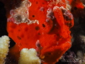 Face of a Red Frogfish