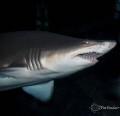 Taken at Aquarium of the Americas   Sand Tiger Shark