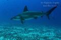 Hammerhead Shark  Isla Darwin Gal pagos