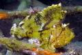Leaf Scorpionfish Bali Indonesia