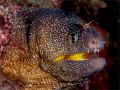 Facial- I needed a yellow mouthed eel to replace a bungled shot in my portfolio for the Sodwana Shootout 2015 on the last day. Found this one with two minutes dive time left