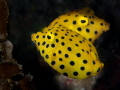 Two Yellow (Cubic) boxfish swimming in almost a mirror image in a pocket on Rooneys, Sodwana