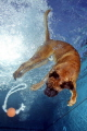 Who has ever seen a diving dog ?