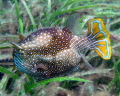 Ornata Cowfish Pt Hughes Jetty South Australia
