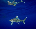 An oceanic white tip shark with surface reflections at Cat Island in the Bahamas