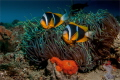 Two Two bar Clown fish at their anemone with recently laid egss in the foreground. the eggs become darker as the mature