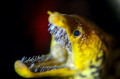 Fang tooth moray eel
