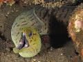 A Moray Eel with a black shrimp passenger:)