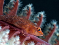 Goby on a sea pen :)