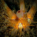 True Colors  I am always amazed at the brilliant colors we find in nature - and especially underwater.  I had never seen a fire urchin before and spent several minutes following this little one across the sand -trying to capture all the vibrant color
