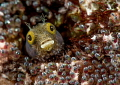 The waiting room! Spinyhead Blenny  Acanthemblemaria spinosa Bonaire Dutch Antilles
