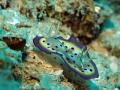 Nudibranch, Risbecia tryoni