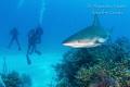 Divers with Reef Shark, Half moon caye Belize