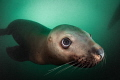 'Little Munchie' - Steller sea lions are the puppies of the sea. They're super cute, and they'll nibble on anything, including a diver!