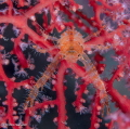 Squat Lobster - Tulamben,Bali