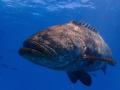Goliath Grouper at Buoy 19, Looe Key off the Florida Keys.