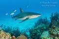 Shark with fishes, Half moon Caye Beliza