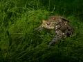 Quak  Erdkröte (Bufo bufo)  Shot in a lake in Switzerland around Lake Luzern