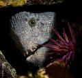 Wolf eel at Fantasea Island, near Port Hardy, Canada. Nikon D810, single strobe, Nikkor 60mm macro lens.