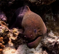 Giant Morey Eel. As the name suggests, it is a large eel, reaching up to 3 m (9.8 ft) in length and 30 kg (66 lb) in weight.[2] Its serpentine in shape body has a brownish background color. While juveniles are tan in color with large black spots,