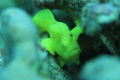 This is my first frog fish! I'v been looking for a long time.  This is a Commerson's Frogfish.
